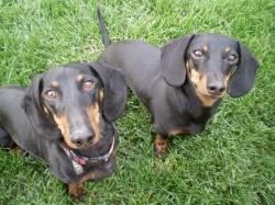 Post image for Doxies 3 – Squirrels 0
